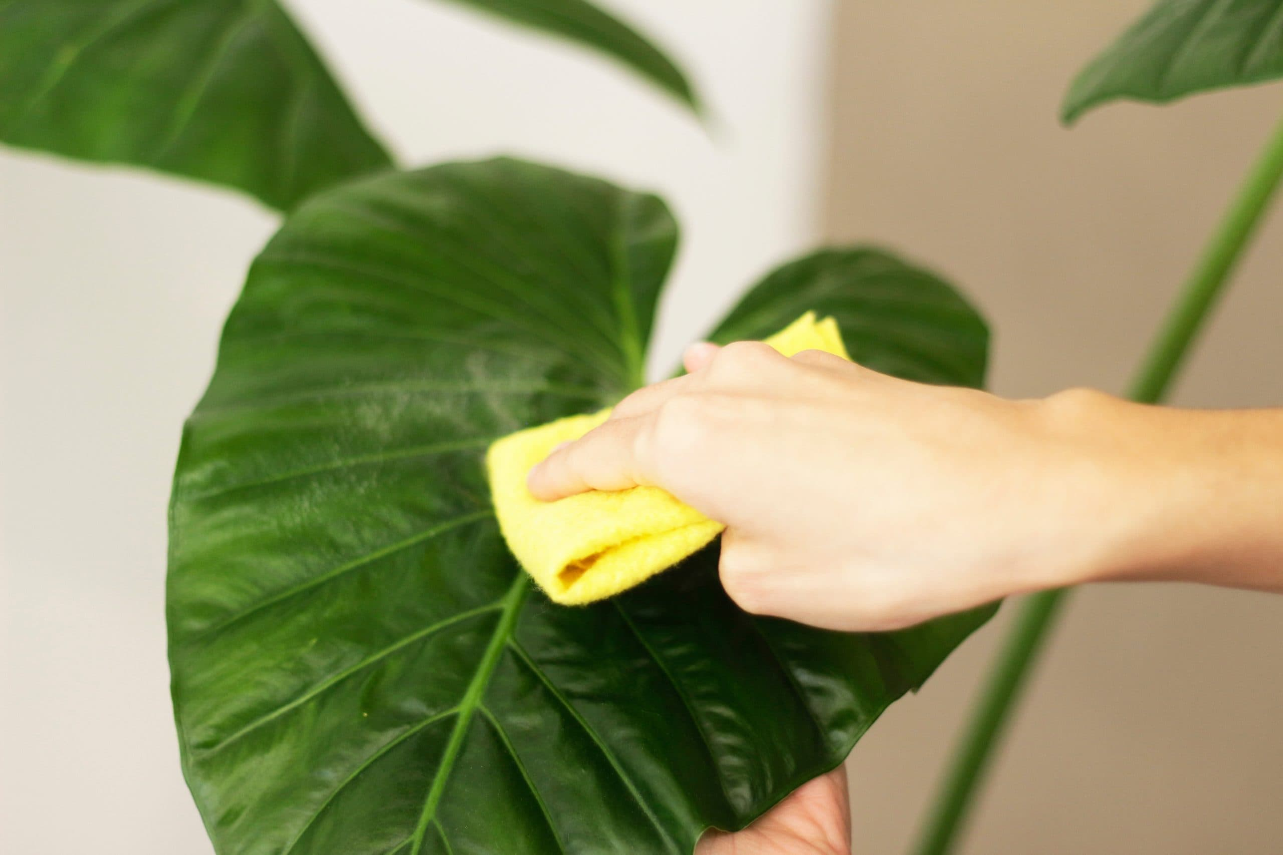 woman cleaning houseplant ATGEF8Y scaled The Clean Life
